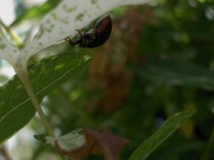 Ladybug in Black?