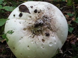 This is the bottom of the Mushroom where it sat on the ground...so BIG