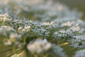 Abundance of flowers all on one stem